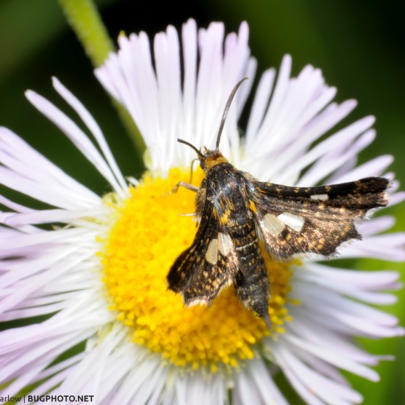 window-winged moth family Thyrididae