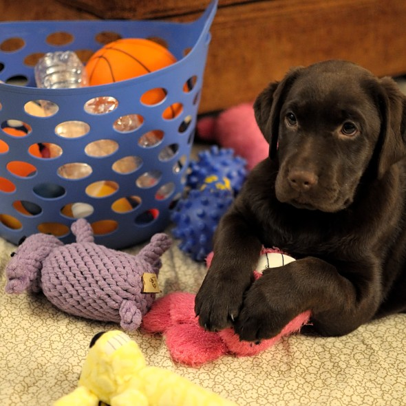 chocolate lab puppy with basket of toys