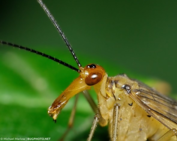 high magnification elongated scorpionfly head