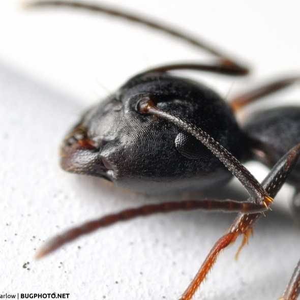 portrait of a carpenter ant