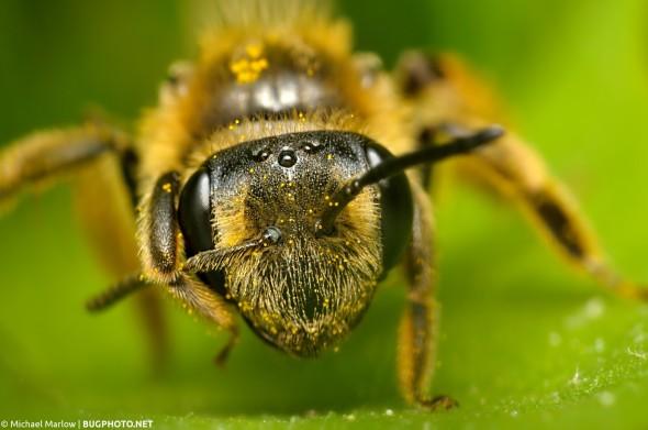 super close-up bee portrait