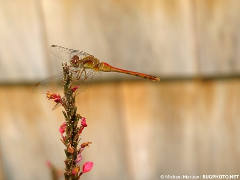meadowhawk dragonfly perched on flower