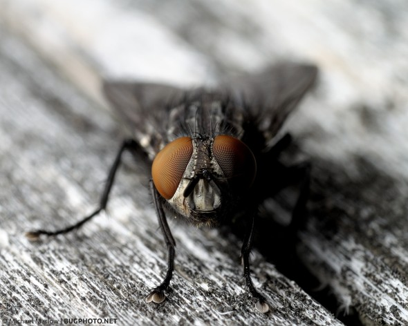 front-facing portrait of fly with large red eyes