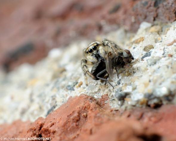 salticus scenicus jumping spider with fly prey on brick