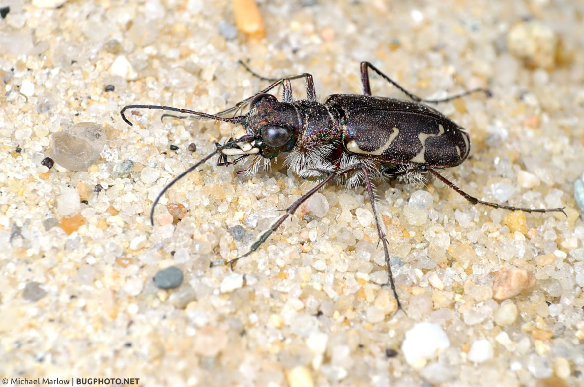tiger beetle prone on sand