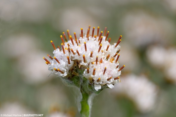 white weed flower
