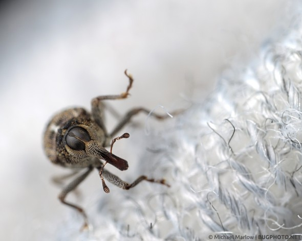 weevil on fabric of shirt sleeve