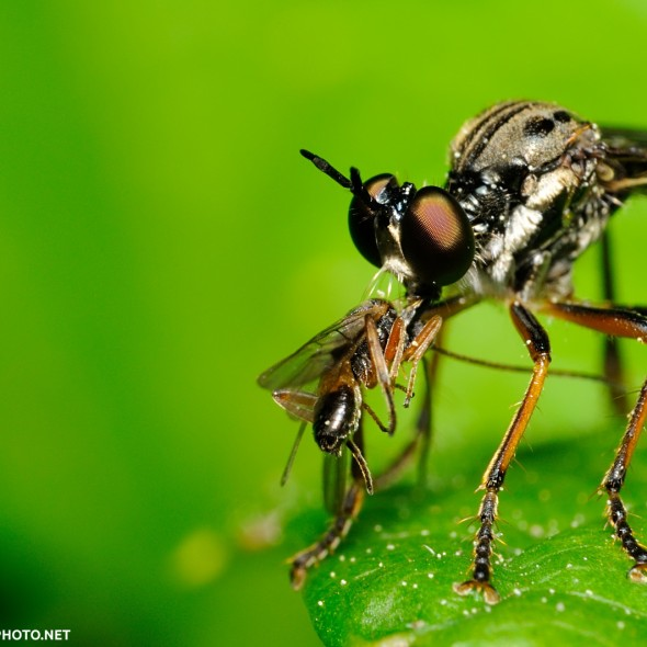 Dicotria robber fly standing with small parasitic wasp prey