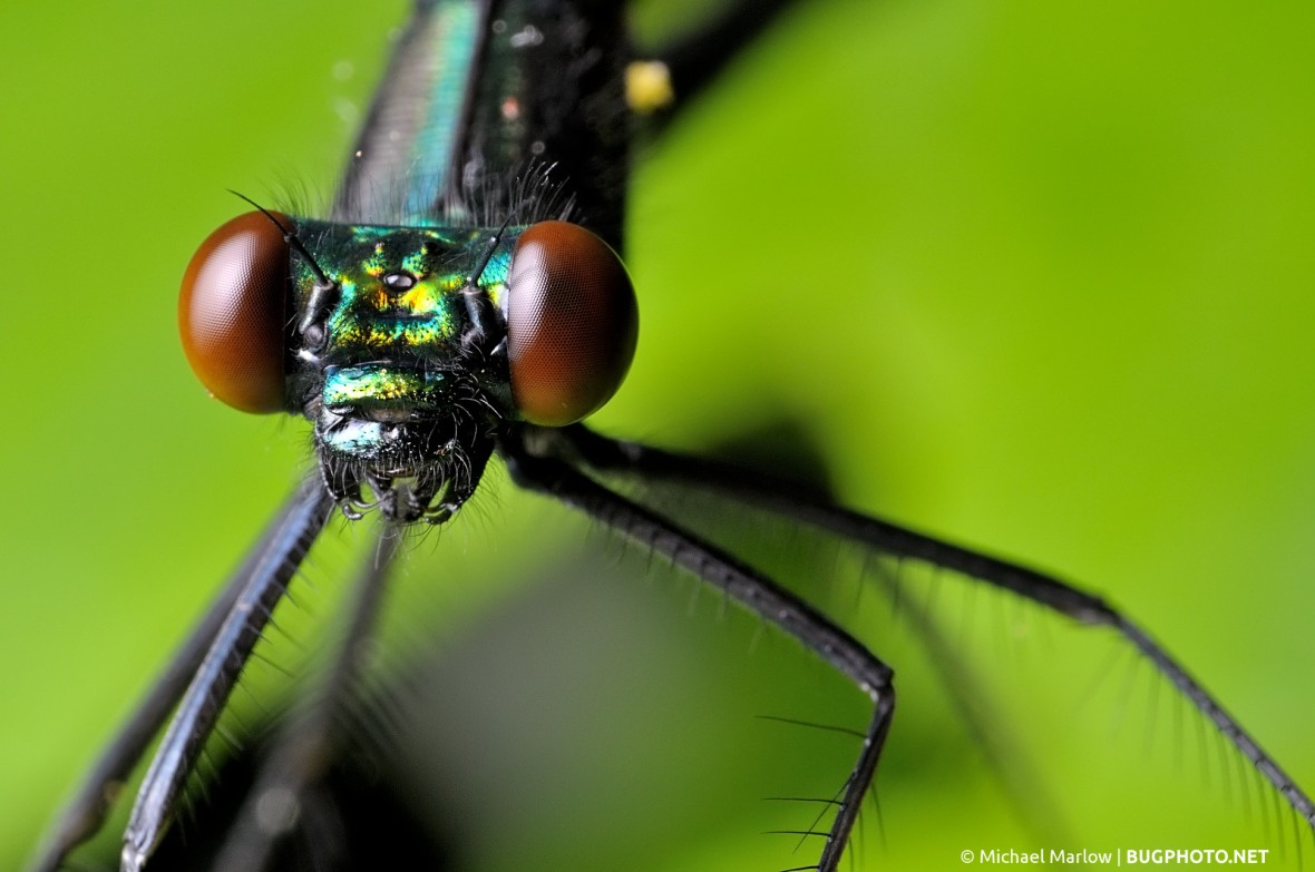 ebony jeweling damselfly portrait