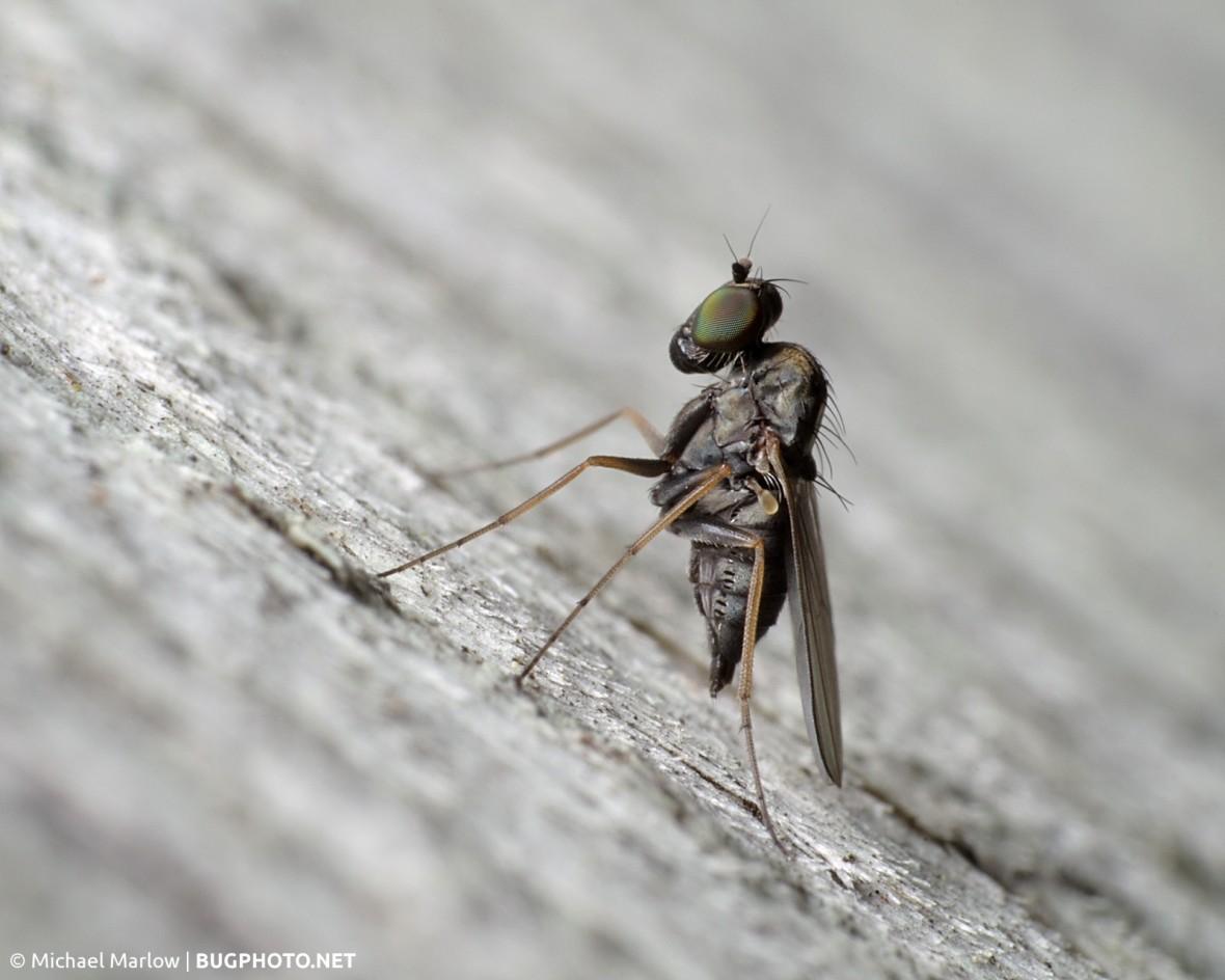 longlegged fly on wood grain