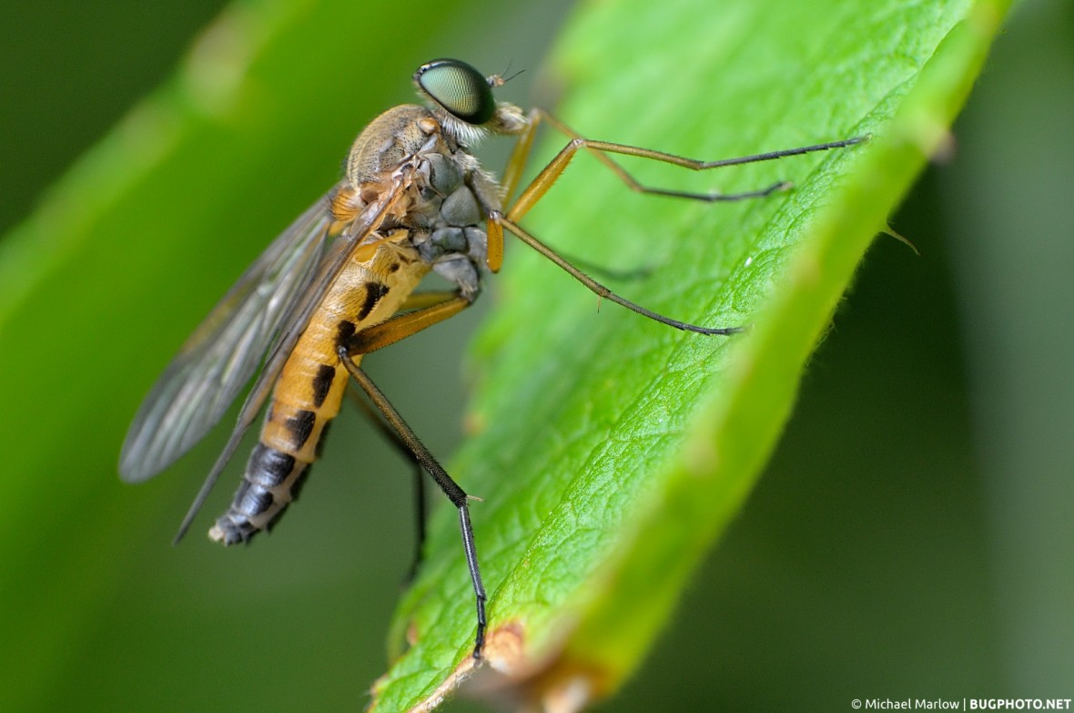 rhagio species snipe fly