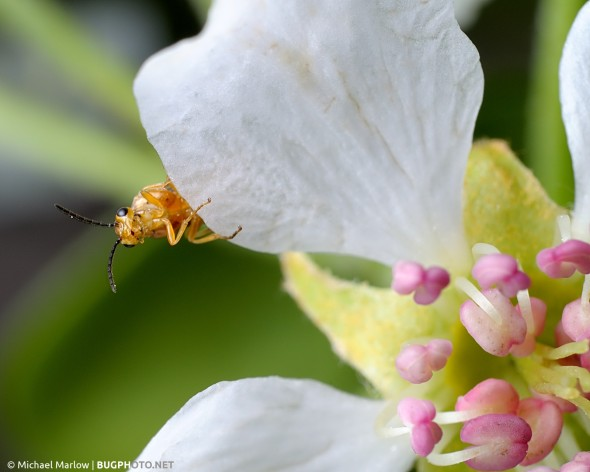 light brown sawfly peering out from behind white petal of pear flower