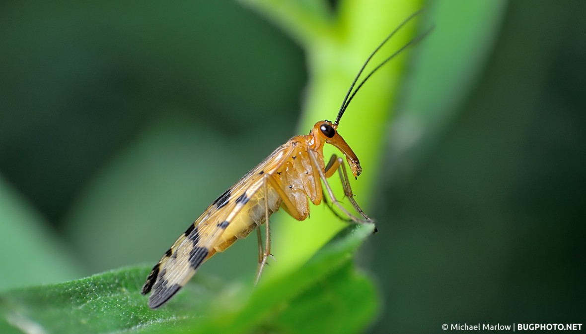 female scorpionfly in profile