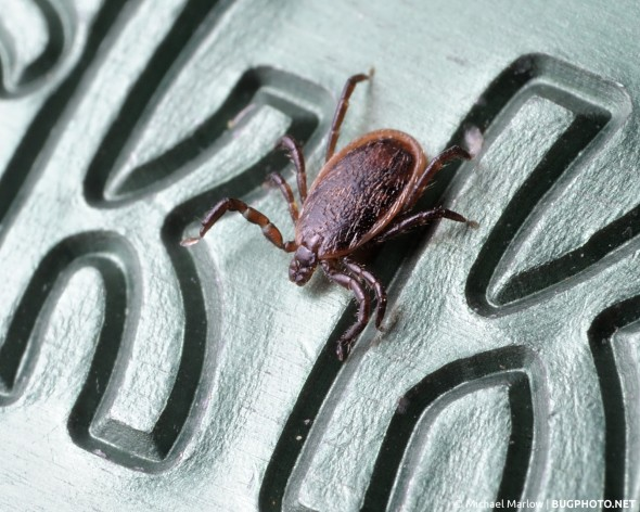"male deer tick on engraved ""K's"" of Tick Key"