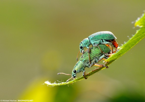 shiny green mating Polydrusus weevils on a leaf