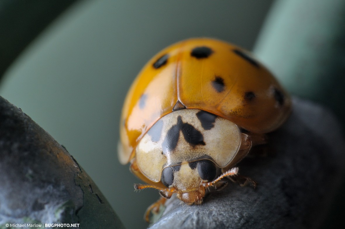 yellow-orange ladybug on a dull green chainlink fence
