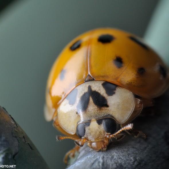 yellow-orange ladybug on a dull green chainlink fence
