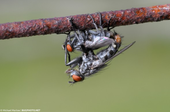 mating flesh flies hanging upside down from a rusty wire