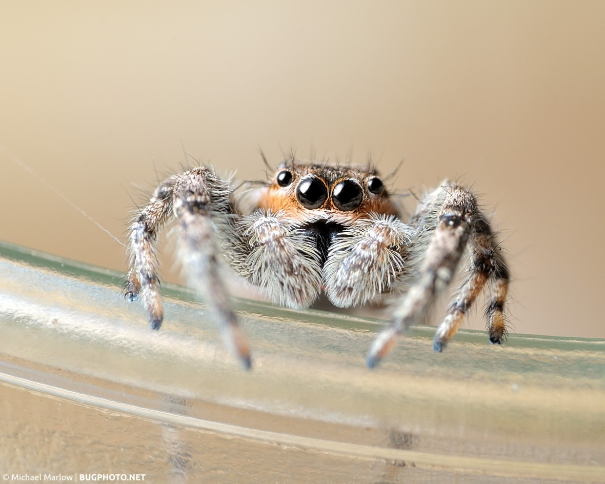 male Platycryptus undatus jumping spider hanging on rim of a drinking glass