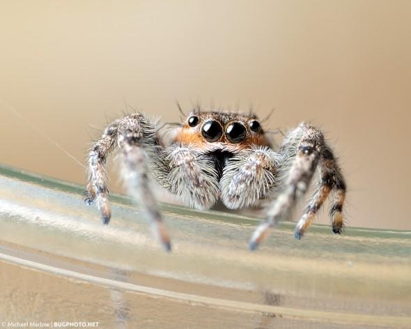 male Platycryptus undatus jumping spider hanging on rim of a drinking glass
