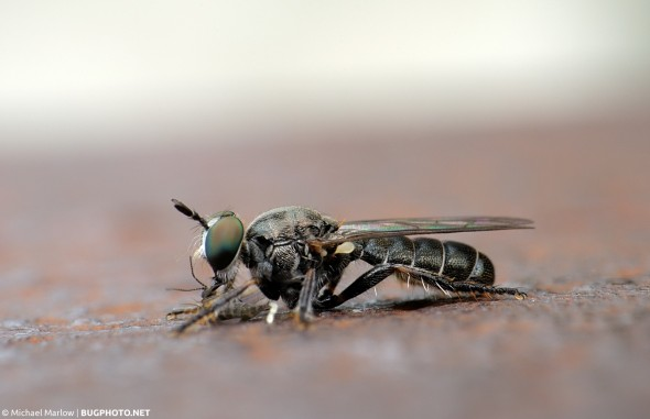 small robber fly with gnat prey lying flat on rusted surface