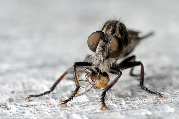 robber fly with small wasp prey