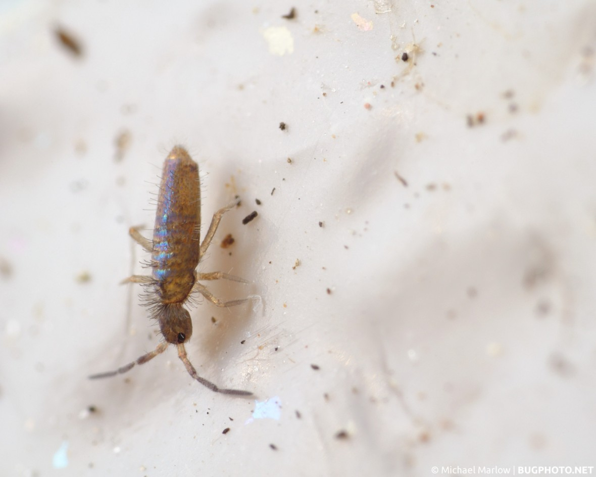 springtail on a dirty white plastic surface