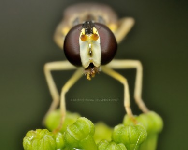 syrphid fly standing on parsley buds light background