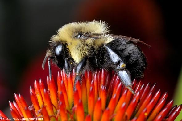 bumblebee feeding on a spiky cone flower