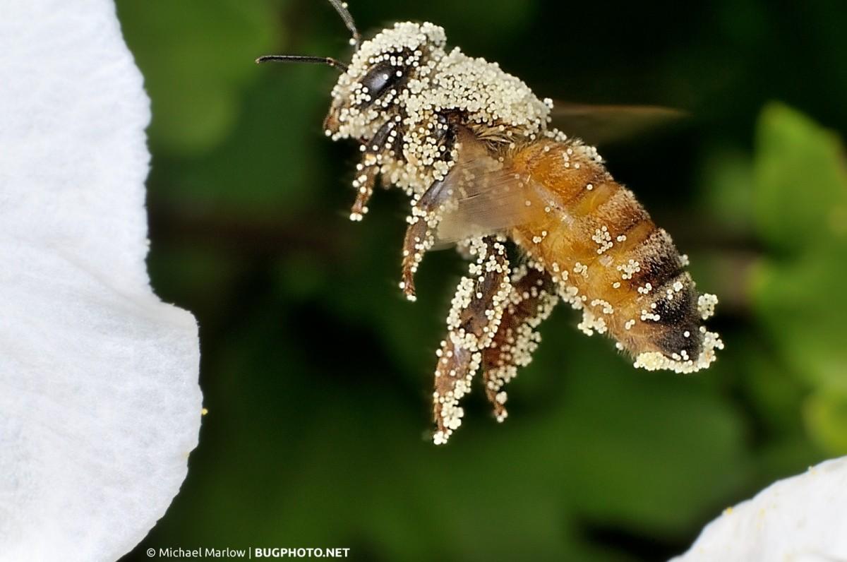 A Gimpy Bee (Photo)