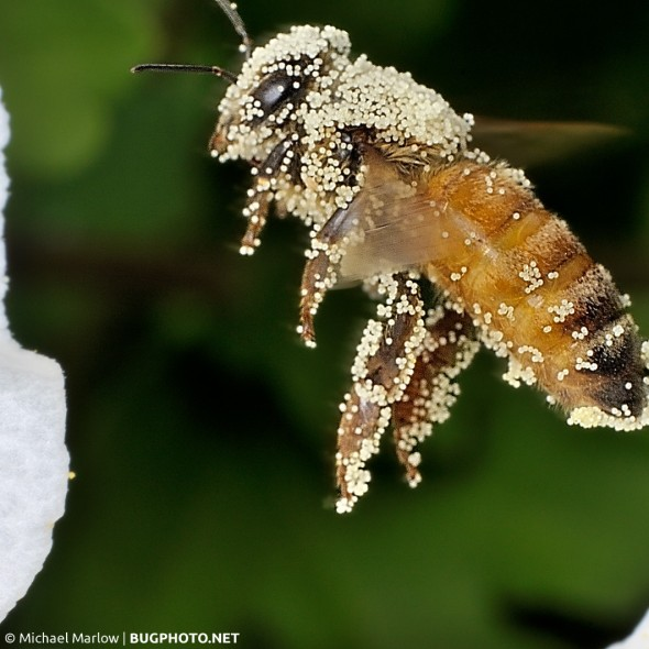 honeybee covered in pollen hovering near white petals