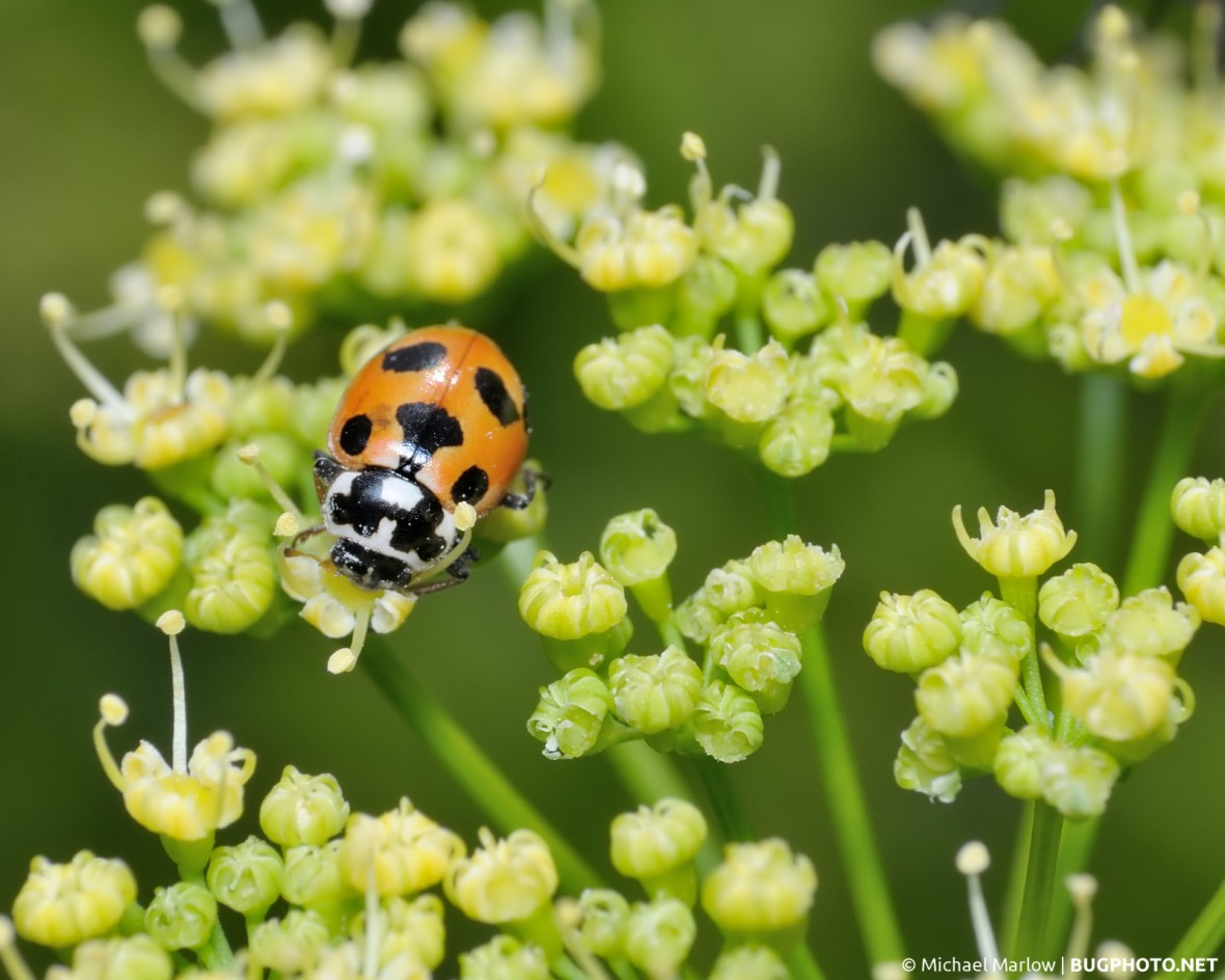 lady bug on a platform of parsley flowers