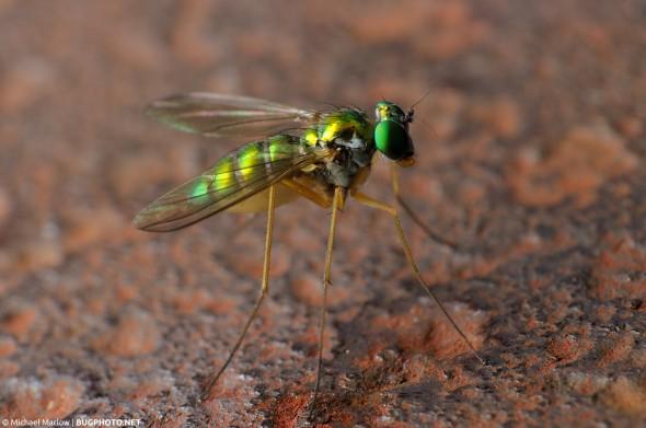 metallic green longlegged fly with bright green eyes half in shadow