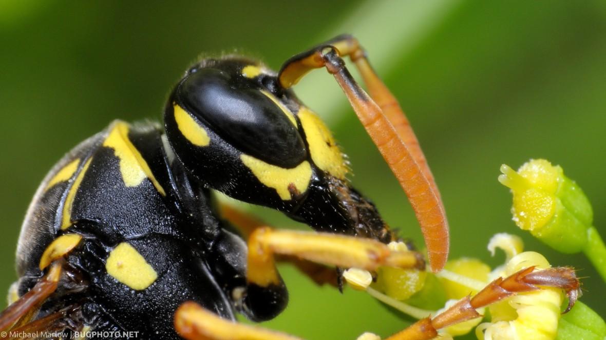 Paper Wasp feeding on parsley