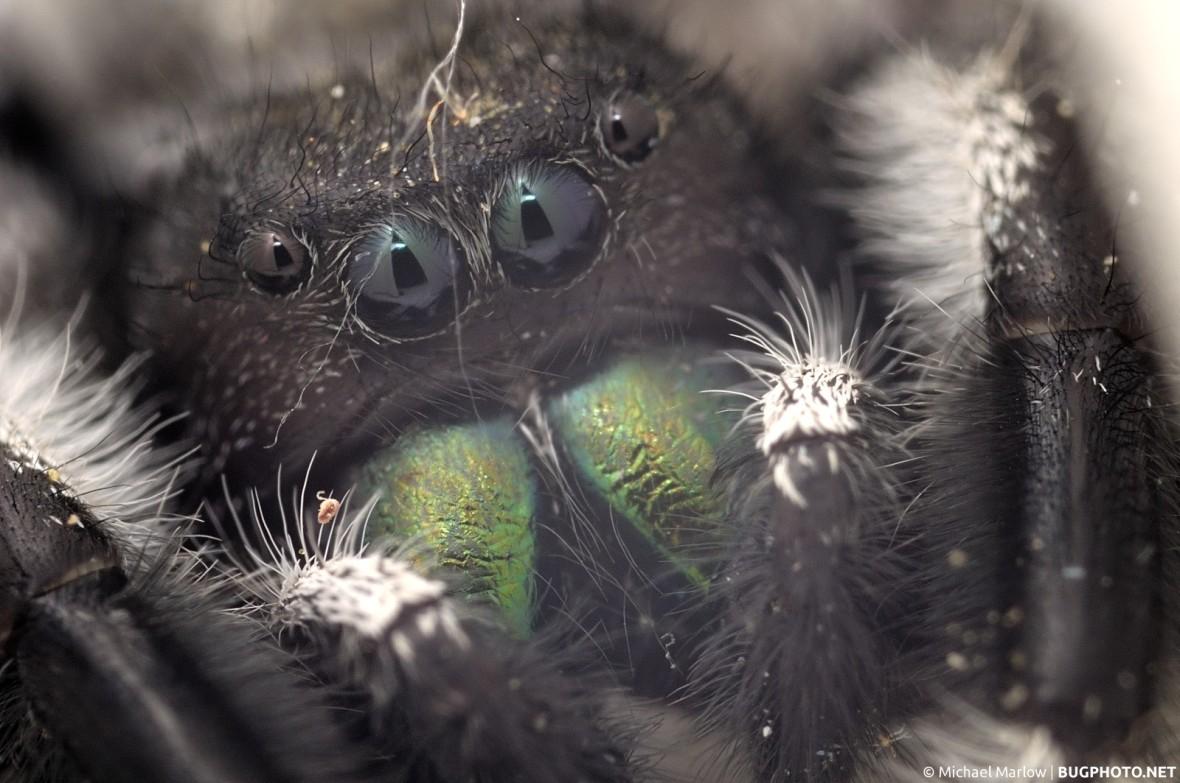 phidippus audax jumping spider portrait