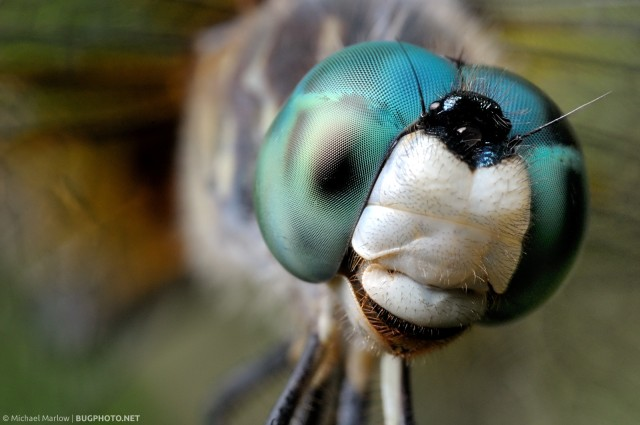 Portrait of a Blue Dasher dragonfly (Pachydiplax longipennis): notice how the shadows fall heavier on the right side due to the position of the flash head.