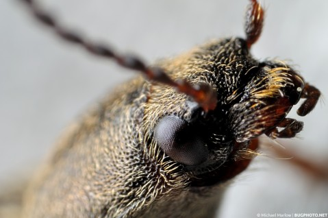 extreme close up of a click beetle head