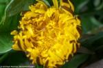 A dandelion flower half-opened
