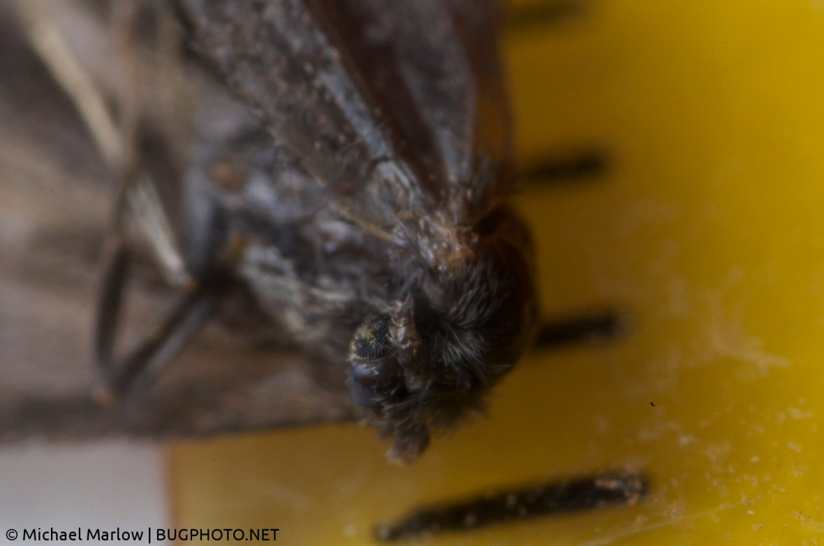 dead moth with ruler shot with reversed lens on extension tubes