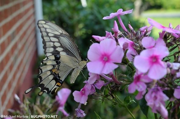 giant swallowtail butterfly feeding on phlox