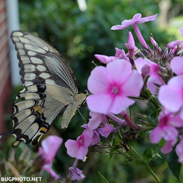 giant swallowtail butterfly feeding on phlox