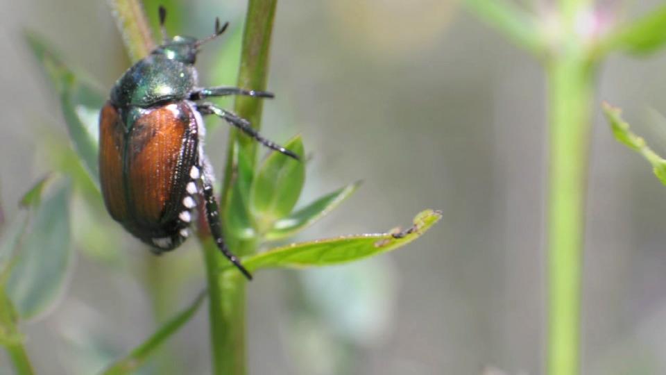 Japanese beetle crawling up plant stem