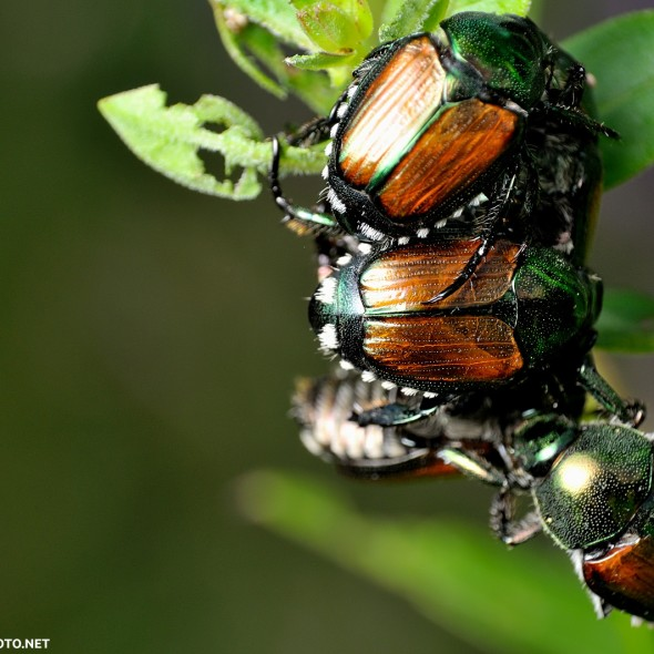 cluster of japanese beetles