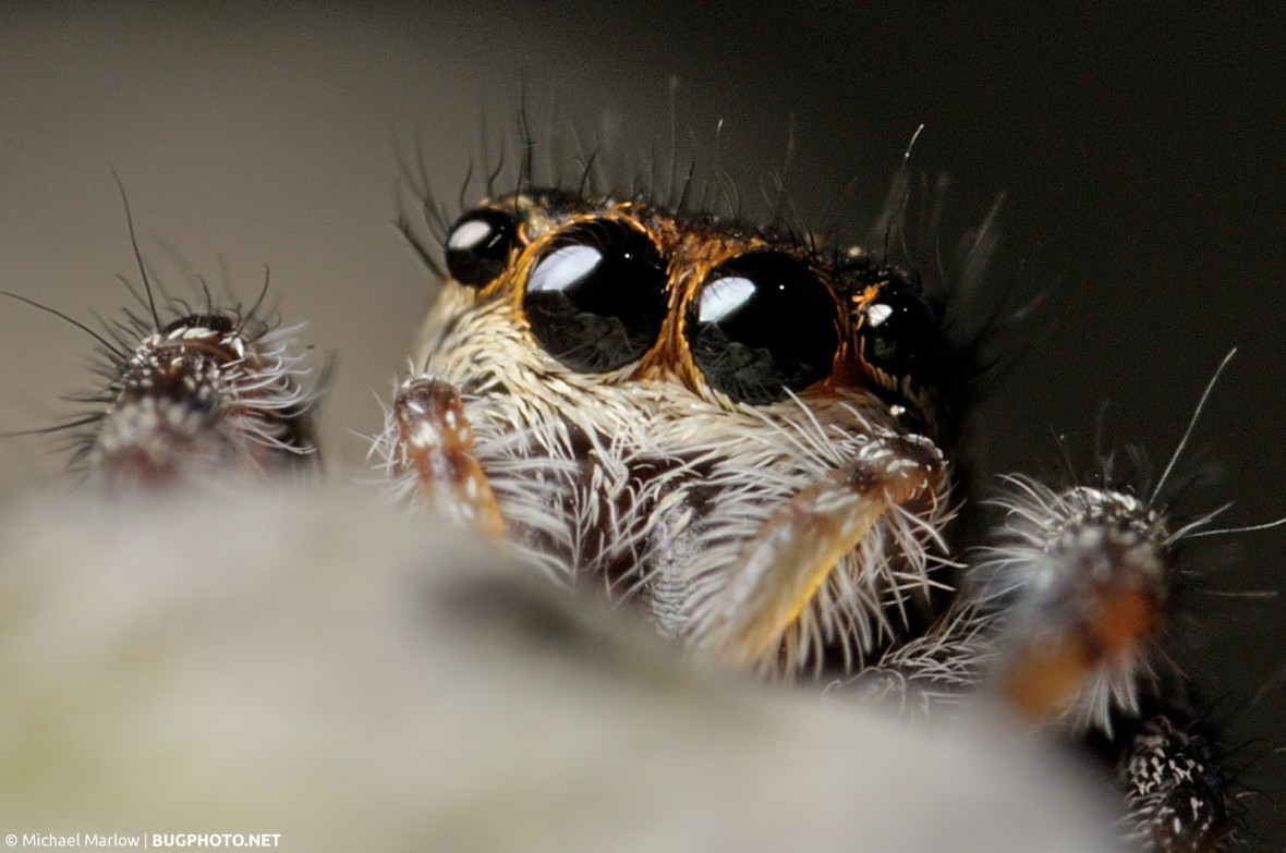 extreme close up of eyes of jumping spider