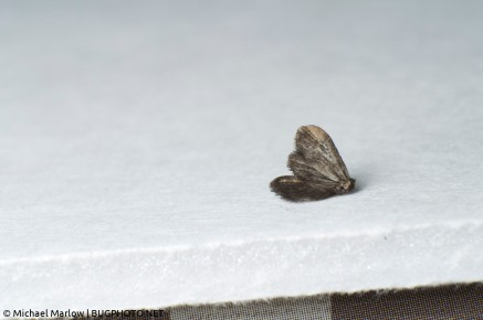 A dead moth, shot with a reverse lens at 55mm