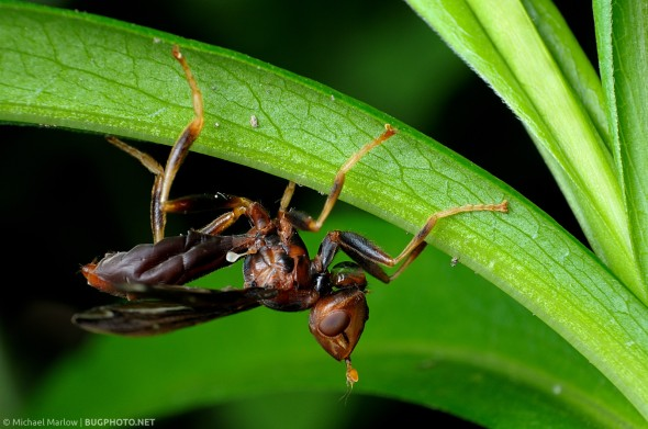 paper wasp mimic fly