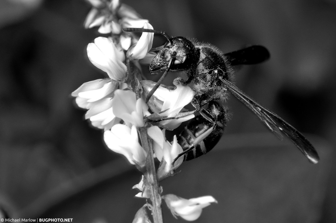 potter wasp on white flowers