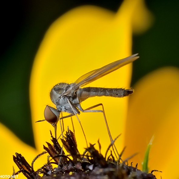 bee fly feeding on black-eyed susan flower
