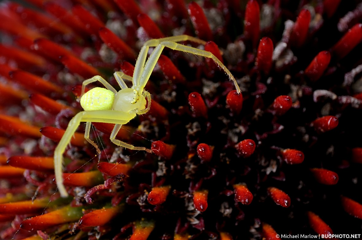 small yellow crab spider on red cone flower spikes