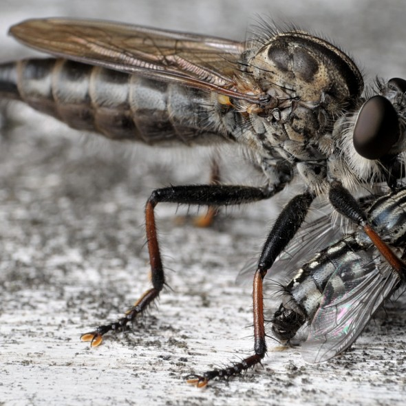 robber fly with flesh fly prey